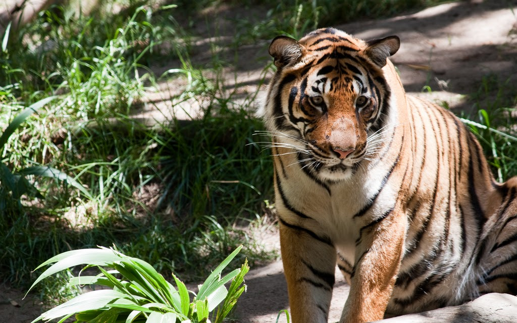 The San Diego Zoo has several big cats, including tigers. Photo by K. Liu